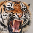 Angry Tigress, from Flickr, Used with Permission