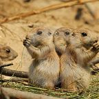 The royalty-free teaser image can be seen here -- http://www.dreamstime.com/royalty-free-stock-image-baby-prairie-dogs-eating-image20901866