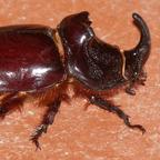 Fermina / (rhinoceros beetle) / pixabay