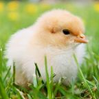 The free teaser image can be seen here -- http://lauragraceweldon.com/2014/06/26/free-range-chickens-free-range-learning/