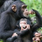 The free teaser image can be seen here -- http://www.wired.com/2011/11/chimps-hepatitis-c/