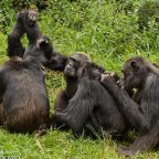 The free teaser image can be seen here -- http://www.chimpsanctuarynw.org/blog/tag/wild-chimps/