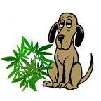 Marijuana for Dogs?