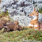 The free teaser image can b seen here -- http://www.burrard-lucas.com/collections/ethiopian-wolves