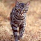 The free teaser image can be seen here -- http://alpinewildlifecontrol.com/content/feral-cat-control-0