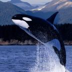 The free teaser image can be seen here -- http://galleryhip.com/orcas-in-the-wild.html