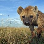 The free teaser image can be seen at http://www.free-picture.net/animals/hyenas/hyena-hd.jpg.html