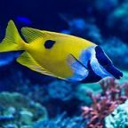 The free teaser image can be seen here -- http://www.fotosearch.com/photos-images/coral-rabbitfish.html