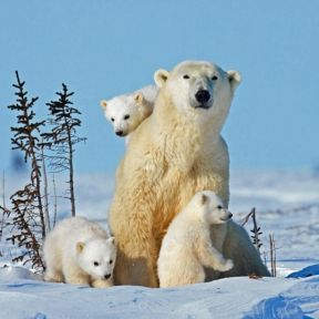 The free teaser image can be seen at http://www.nydailynews.com/news/world/pictures-released-baby-polar-bears-canada-article-1.1602835