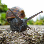Sally Crossthwaite, Creative Commons license - http://nextdoornature.org/tag/snail/