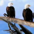 The free teaser image can be seen here -- https://sites.google.com/a/owu.edu/endangerment-of-bald-eagles/home/what-have-we-done-to-help