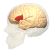 Location of the Broca's area in the human brain