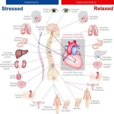 Stress Response and the Nervous System