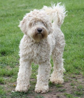 dog canine pet designer labradoodle mixed breed allergy shedding