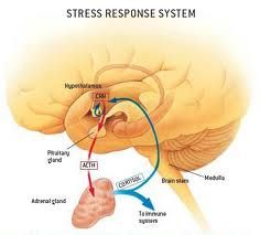 cortisol and the brain